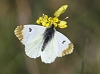 J18_2030 Provence Orange Tip female